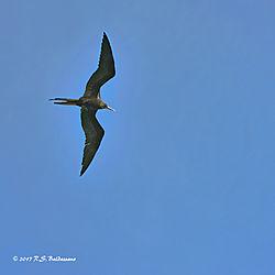 Frigate-Bird-In-Flight-PPW.jpg