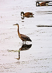 GBH-on-the-Columbia-River-2.jpg