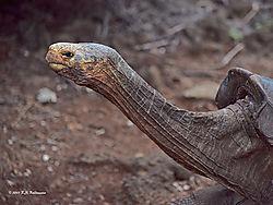 Galapagos-Giant-Tortoise-PPW.jpg