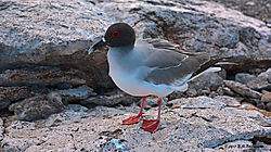 Galapagos-Gull-and-Chick-2-PPW.jpg