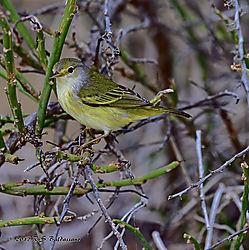 Galapagos-Islands-Yellow-Warbler-PPW.jpg