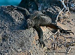 Galapagos-Marine-Iguana-PPW.jpg