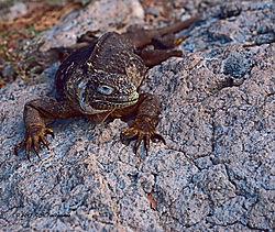 Galapagos-Marine-Iguna-on-Santa-Fe-Island-PPW.jpg