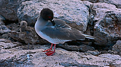 GalapagosGull-and-Chick-PPW.jpg