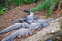 Gators_MDS1064.jpg