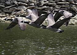Geese_Flying_1_of_1_.jpg