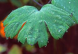 Geranium_Leaf_---_Macro_View.jpg