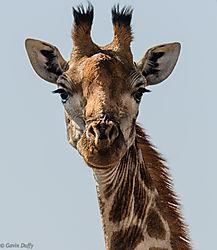 Giraffe_portrait_1_of_1_-2.jpg