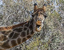 Giraffe_portrait_1_of_1_.jpg