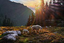 Goat_sunrise_three.jpg