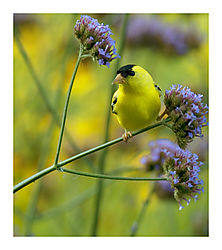 Gold-Finch-Blooms.jpg