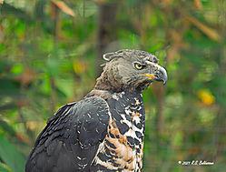 Golden-Eagle-San-Diego-Zoo-PPW.jpg