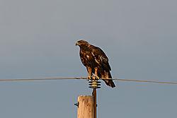 Golden_Eagle_Craig_0602.jpg