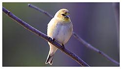 Golden_Finch_low_res.jpg