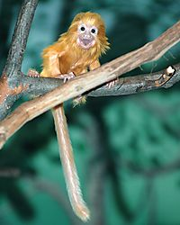 Golden_Lion_Tamarin_1_Done.JPG