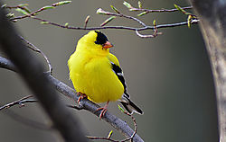 Goldfinch-1-web.jpg