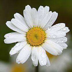 Good_Morning_Daisy.jpg