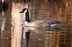 Goose-web.jpg