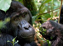 GorillaLeavesHand_72x1200_DRA_1412.jpg