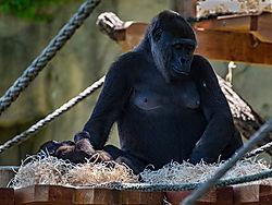 Gorilla_-_Original.jpg