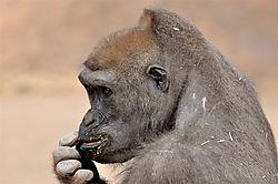 Gorilla_1.JPG