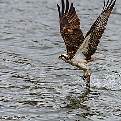 Got_It_-_Osprey_Fishing-2.jpg