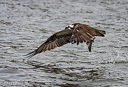 Got_It_-_Osprey_Fishing-3.jpg