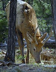 Grand_Canyon_Elk_1b_PS_Edited_Upated_1_1_07.jpg