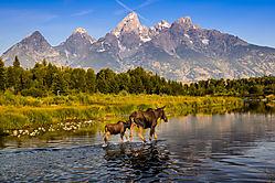 Grand_Teton_Moose-1.jpg