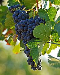 Grapes_Hansen_Harvest_09_18_08_0845.jpg