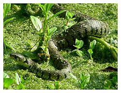 Grass_Snake.JPG