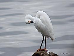 Great-Egret-Grooming-PPW.jpg