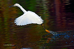Great-Egret-Takes-Off-Dec-2015-PPW.jpg