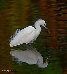 Great-White-Egret-at-Vasona-Lake-Dec-2015-PPW.jpg