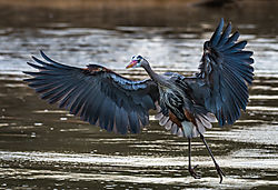 Great_Blue_Heron-Fishing-4.jpg