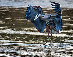 Great_Blue_Heron-Fishing-5.jpg