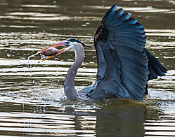 Great_Blue_Heron-Gets_a_Fish.jpg