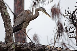 Great_Blue_Heron10.jpg