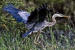 Great_Blue_Heron_at_Chinook_Landing_06192020_R-7995.JPG