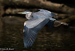 Great_Blue_Heron_over_the_James-3.jpg