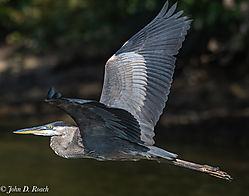 Great_Blue_Heron_over_the_James-6.jpg