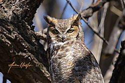 Great_Horned_Owl_Rocky_gunbarrel_4-11-2020_-1.jpg