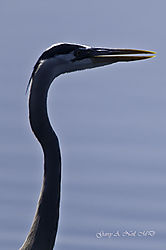 Great_blue_heron5.jpg