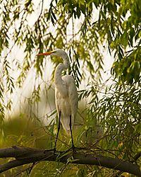 Great_egret_in_Tree09012019190.jpg