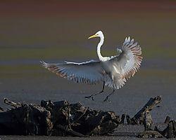 Great_egret_landing.jpg