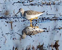 GreaterYellowLegs_DHR4523.jpg