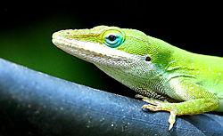 Green-lizard_900_2247.JPG