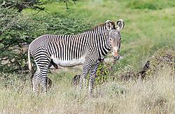 Grevys-Zebra_72x1800_DRA3052.jpg