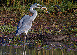 Grey_Heron_with_catch_1_of_1_.jpg