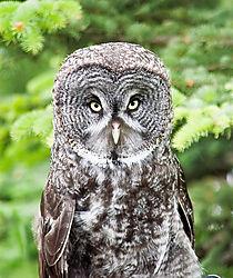 Grey_Owl.jpg